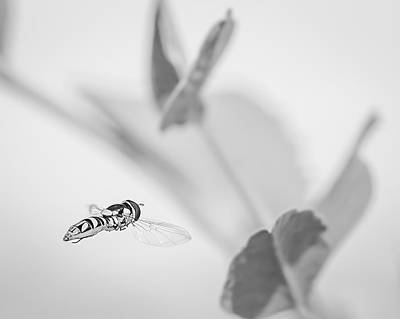 Photograph - hoverfly in the pea patch B/W by Len Romanick