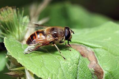 Hoverfly Wall Art - Photograph - Hoverfly by John Devries/science Photo Library