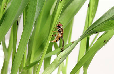 Hoverfly Wall Art - Photograph - Hoverfly Laying An Egg by Uk Crown Copyright Courtesy Of Fera/science Photo Library