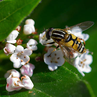 Photograph - Hoverfly Lunch by Jeremy Hayden
