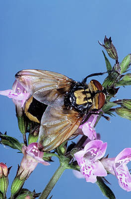 Hoverfly Wall Art - Photograph - Hoverfly by M F Merlet/science Photo Library