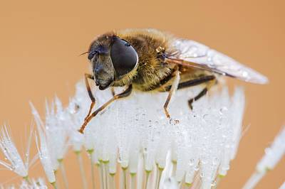 Hoverfly Wall Art - Photograph - Hoverfly On Dandelion Clock by Heath Mcdonald/science Photo Library