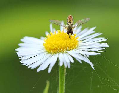Photograph - Hoverfly On Flower by Brian Magnier