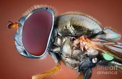 Photograph - Hoverfly Portrait by Matthias Lenke