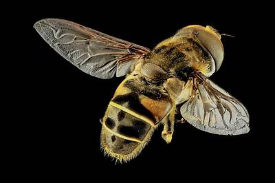 Hoverfly Print by Us Geological Survey