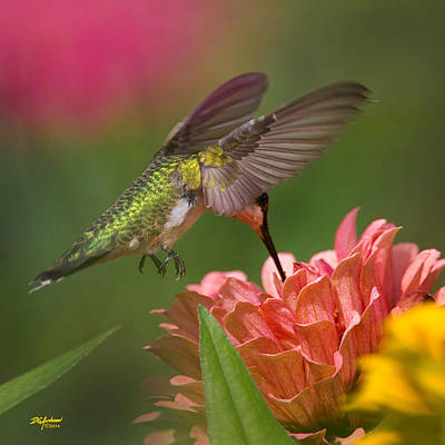 Photograph - Hovering Hummer by Don Anderson