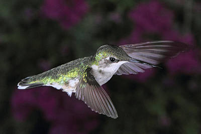Photograph - Hovering Hummer by Theo