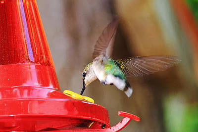 Photograph - Hovering Hummingbird  by Barbara West
