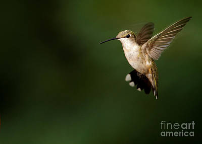 Photograph - Hovering Hummingbird  by Sabrina L Ryan