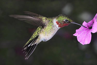 Photograph - Hovering Hummingbird by Theo OConnor