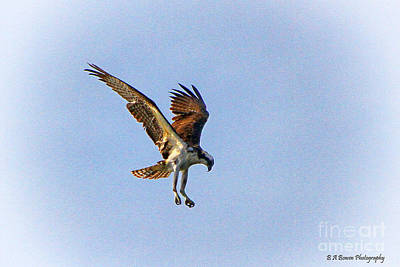 Photograph - Hovering Osprey by Barbara Bowen