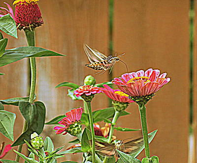 Metal Noise Photograph - Hovering Sphinx Moth by Kay Novy