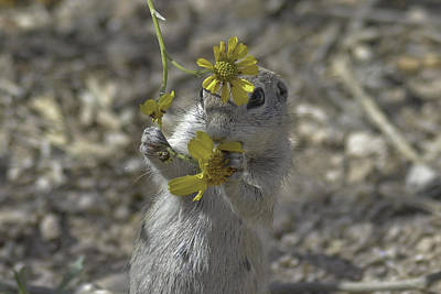 Round-tailed Ground Squirrel Photograph - How Do I Look? by Lorraine Harrington