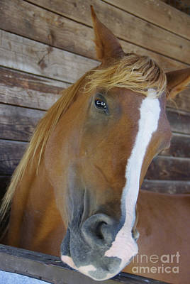 Forelock Photograph - Howdy There Honey by Marilyn Wilson