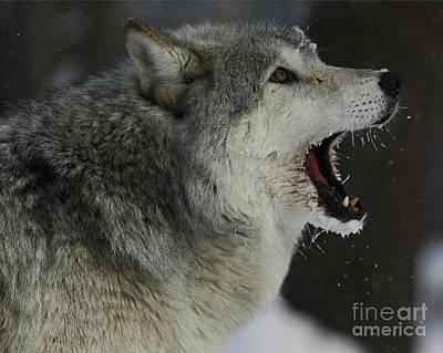 Howling Gray Wolf  Art Print