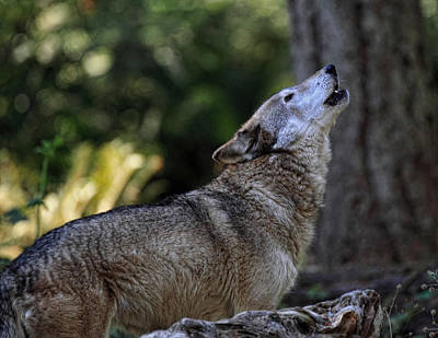 Wolve Photograph - Howling by Ray Morris