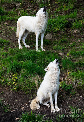 Photograph - Howling Wolves by Cheryl Baxter