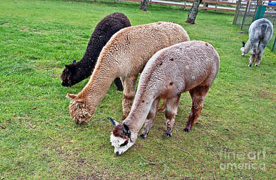 Photograph - Huacaya Alpacas Eating Art Prints by Valerie Garner