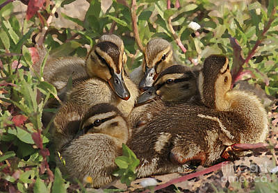 Art Print featuring the photograph Huddled Ducklings by Kate Brown