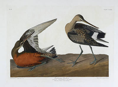 The Birds Photograph - Hudsonian Godwit by British Library