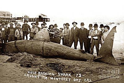Photograph - Huge Basking Shark Near Fishermans Wharf Monterey California Circa 1912 by California Views Mr Pat Hathaway Archives