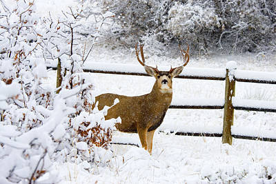 Steven Krull Royalty-Free and Rights-Managed Images - Huge Buck Mule Deer in Snow by Steven Krull
