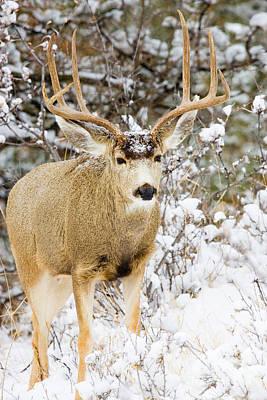 Photograph - Huge Buck by Steve Krull