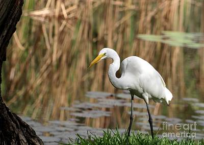 Photograph - Huge Great White Egret by Sabrina L Ryan