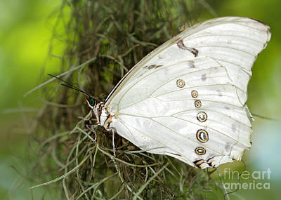 Photograph - Huge White Morpho Butterfly by Sabrina L Ryan