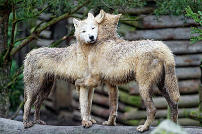 Hugging Arctic Wolves Art Print by Picture By Tambako The Jaguar
