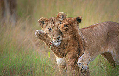Lion Photograph - Hugs by Jeffrey C. Sink