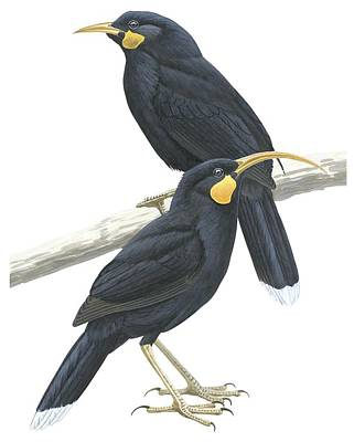 Ornithology Drawing - Huia by Anonymous