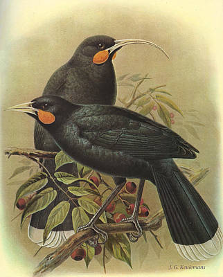 New Zealand Painting - Huia by Dreyer Wildlife Print Collections