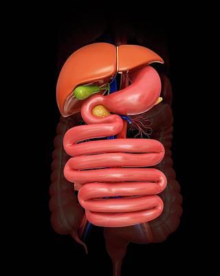 Internal Organs Photograph - Human Abdominal Organs by Pixologicstudio