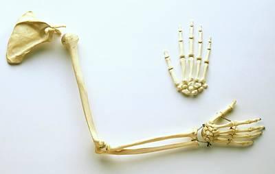 Human Joint Photograph - Human Arm Bones by Dorling Kindersley/uig
