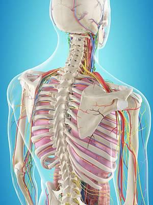 Human Back Anatomy Art Print by Sciepro