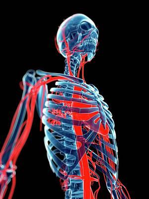 Human Blood Vessels Art Print by Sebastian Kaulitzki
