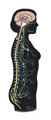Lobe Digital Art - Human Body Showing Autonomic Nervous by TriFocal Communications