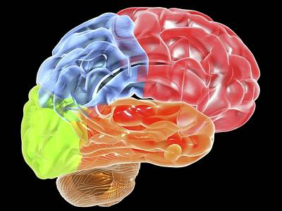 Human Brain Anatomy, Artwork Art Print by Pasieka