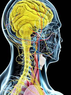 Human Brain Anatomy Art Print by Sebastian Kaulitzki