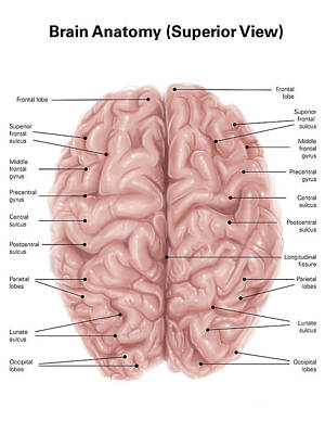Human Brain Anatomy, Superior View Art Print by Alan Gesek