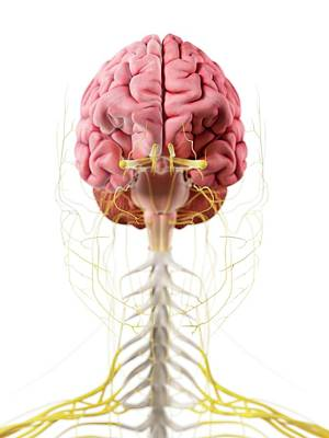 Human Brain And Nerves Art Print by Sciepro