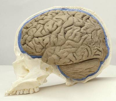 Reconstruction Photograph - Human Brain And Skull by Science Photo Library