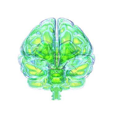 Organ Photograph - Human Brain by David Mack