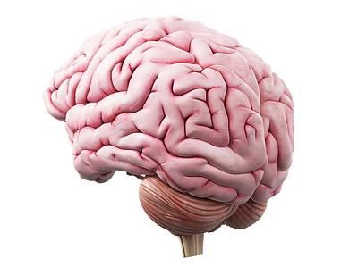 Human Brain Art Print by Sciepro