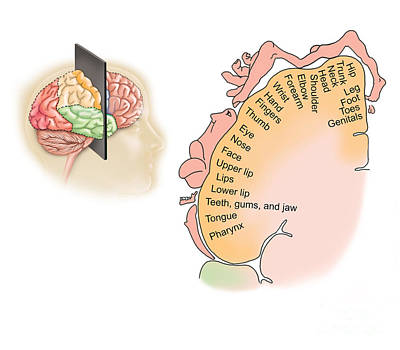 Lobe Digital Art - Human Brain Showing The Layout by TriFocal Communications