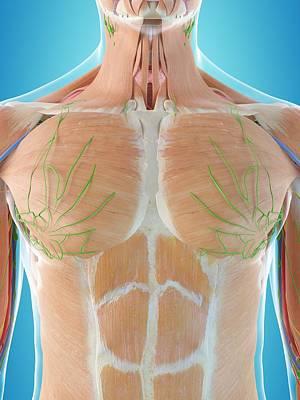 Human Chest Anatomy Art Print