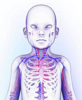 Human Circulatory System Art Print