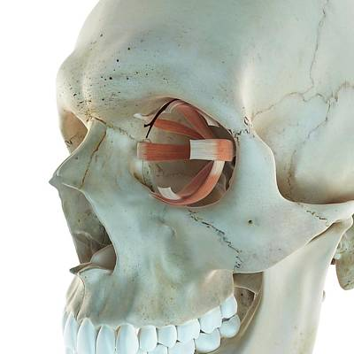 Human Head Photograph - Human Eye Muscles by Sciepro