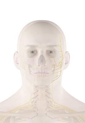 Human Facial Nerves Art Print